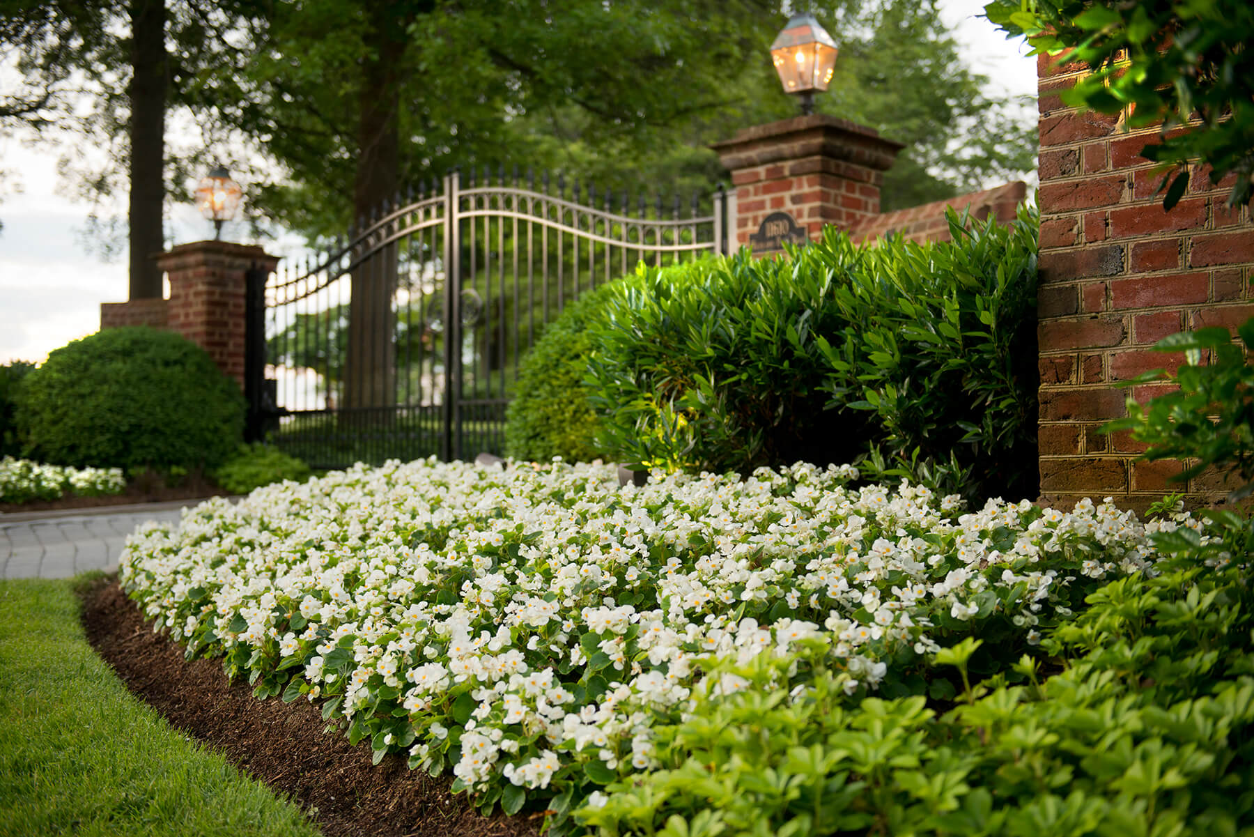 Flower bed filled with white begonias